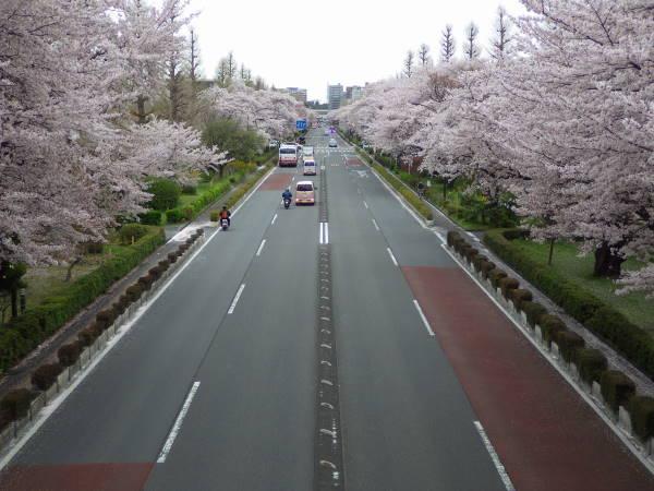 002 sakura.JPG